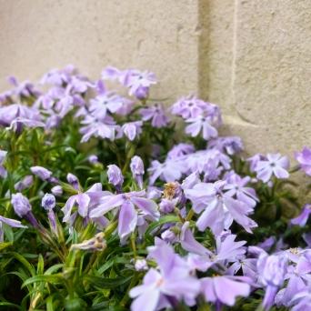 Gwalia - flowers detail