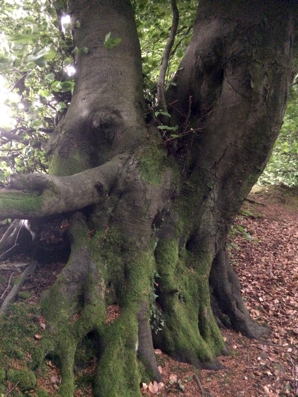 tree large roots