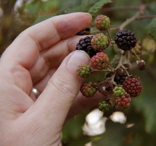picking the right berry