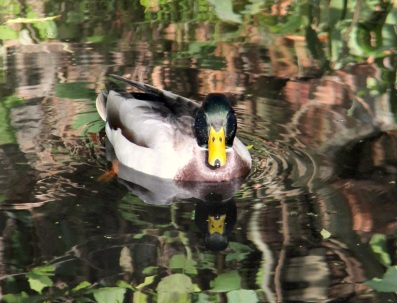 Cabal duck 1