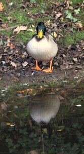 Canal duck reflection