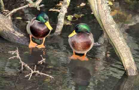 Canal ducks 1
