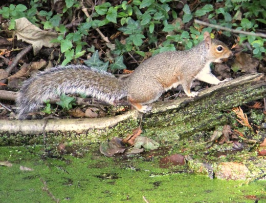 Canal squirrel
