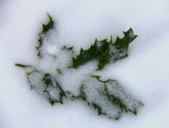 WP_snow_holly_leaf_on_ground