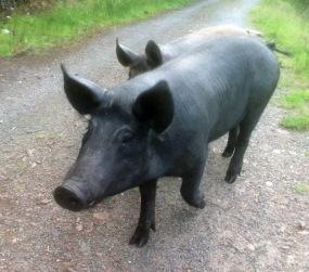 Raasay free range pigs 1